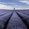 Valensole- field of lavender, tree, and clouds